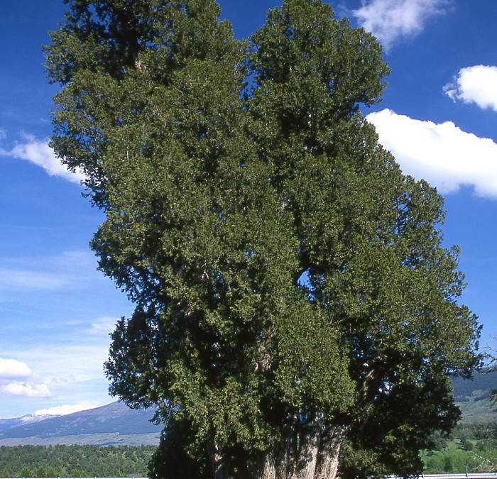 """Programa """"Abraza tus Árboles"""". Sabinar de Sigueruelo y Acebeda de Prádena (Segovia)"""