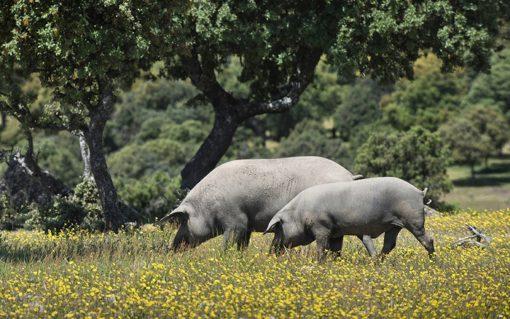 ruta cerdo iberico retamar