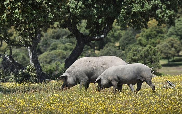 cerdos-ibéricos retamar