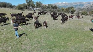 Pastorea y Ordeña a la Cabra Guadarrameña @ Majada de la Vega-El Boalo (entre el Polideportivo y CEIPSO)