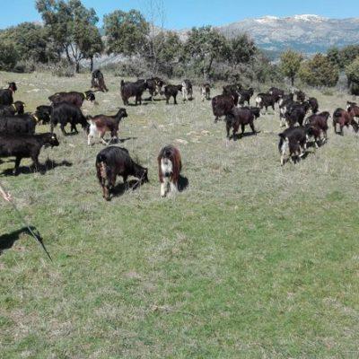 Pastorea a la Cabra Guadarrameña