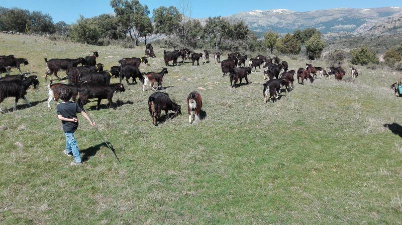 Pastorea y Ordeña a la Cabra Guadarrameña