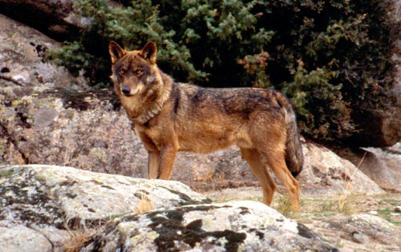 EL lobo en la Sierra del Guadarrama