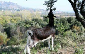 Pastorear cabras Sierra de Madrid