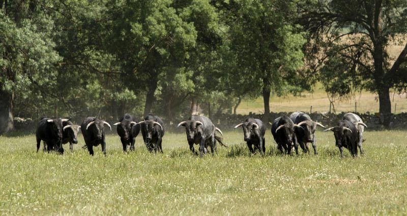 Toros de Lidia en la Sierra Madrid