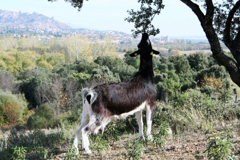 Pastoreo de Cabras Sierra del Guadarrama