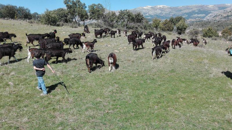 Pastorea y Ordeña a la Cabra Guadarrameña en la Sierra de Guadarrama