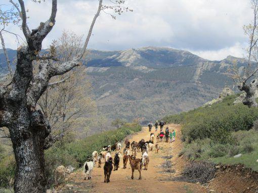 Pastoreo y Paisaje Como una cabra Sierra de Madrid