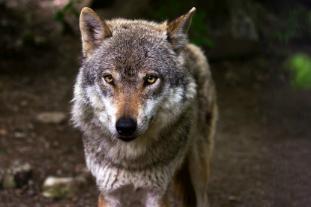 El Lobo en la Sierra Madrid