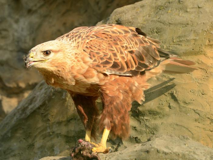Aves Rapaces en la Sierra de Madrid