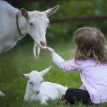 pastorear cabras en la sierra