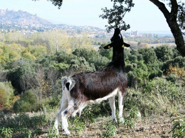 Entre Cabras, Cervezas Artesanas y Gusto al Cuerpo