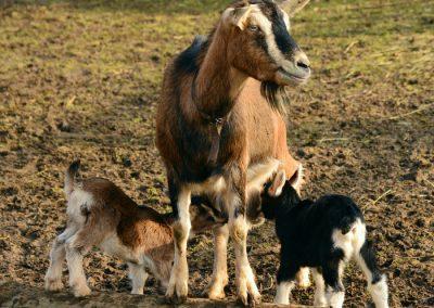 pastoreo cabra sierra