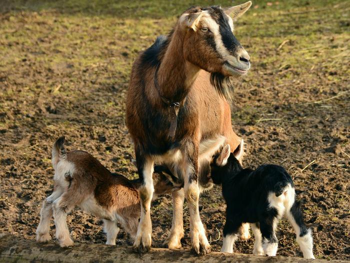pastoreo cabra sierra de guadarrama
