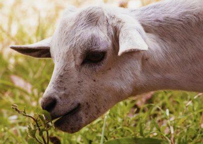 pastoreo cabra sierra de madrid