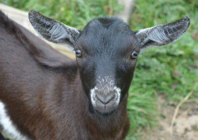 pastoreo cabra sierra guadarrama
