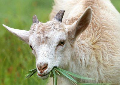pastoreo cabra sierra madrid