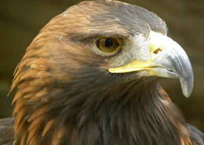 Aves-rapaces-Sierra-Madrid-