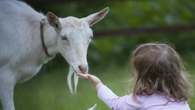 Pastorea a la cabra guadarrameña Sierra Guadarrama
