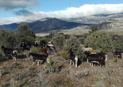 pastorear cabras en madrid