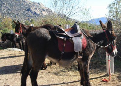 burros en la Sierra