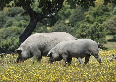 cerdo ibérico en Madrid