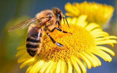 La desaparación de las abejas