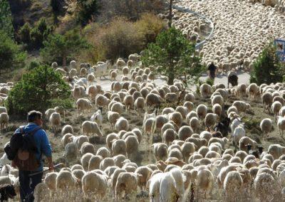 trashumancia-rebaño-ovejas