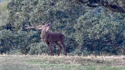 berrea ciervo madrid