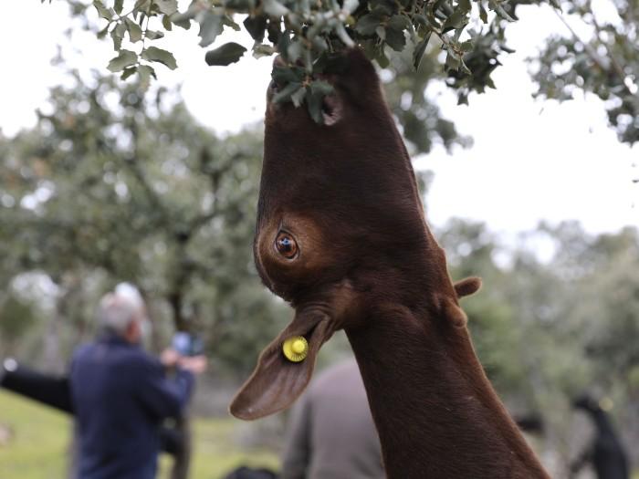Pastoreo cabra madrid degustación